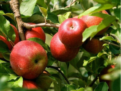 Саженцы яблони Женева Эрли 3