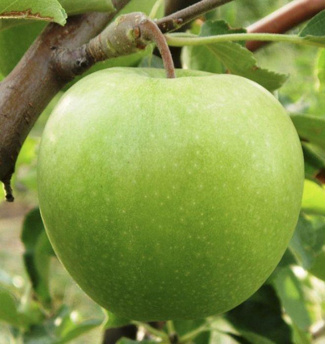 Саженцы яблони Гренни Смит 1