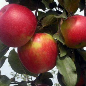 Саженцы яблони Дарк Рубин изображение 1