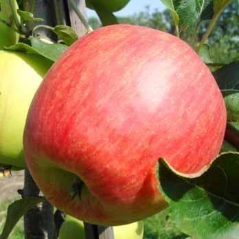 Саженцы яблони Джулия 2