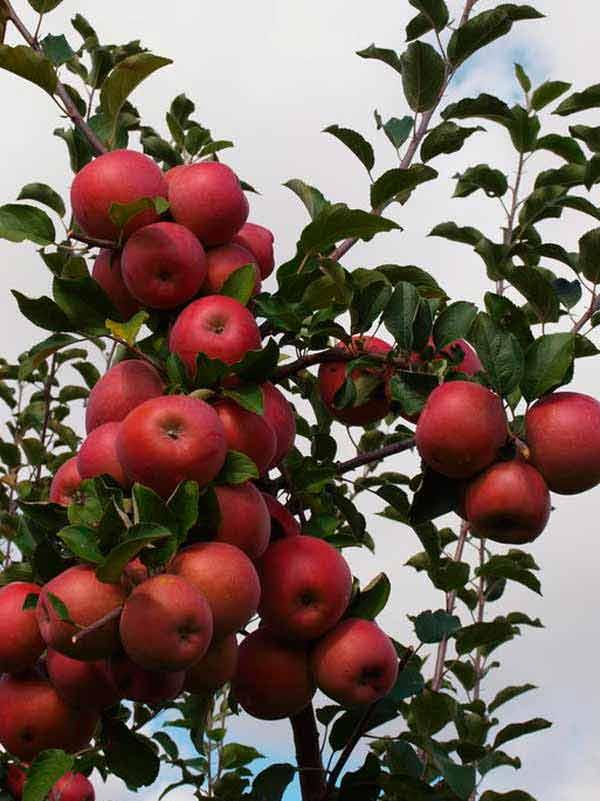 Саженцы яблони Бени Шогун изображение 3