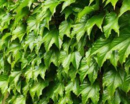 Девичий виноград триострённый Грин Спринг