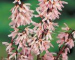 Абелиолистник двурядный Розеум (Форзиция розовая)