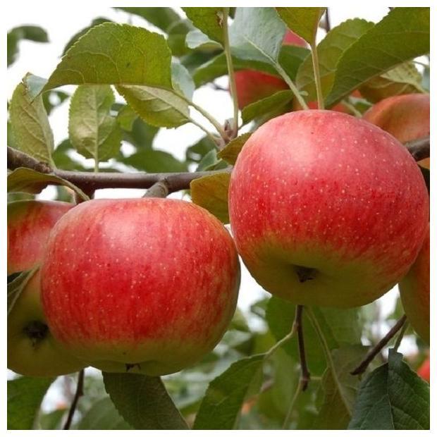 Саженцы яблони Дарк Рубин изображение 2