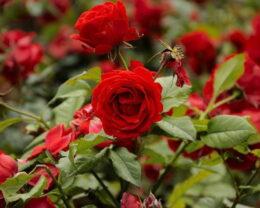 Роза парковая Флуоресцент