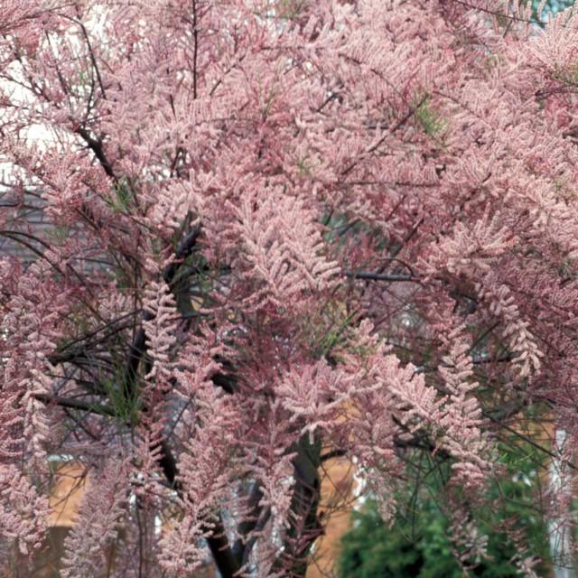 Тамарикс мелкоцветковый 2