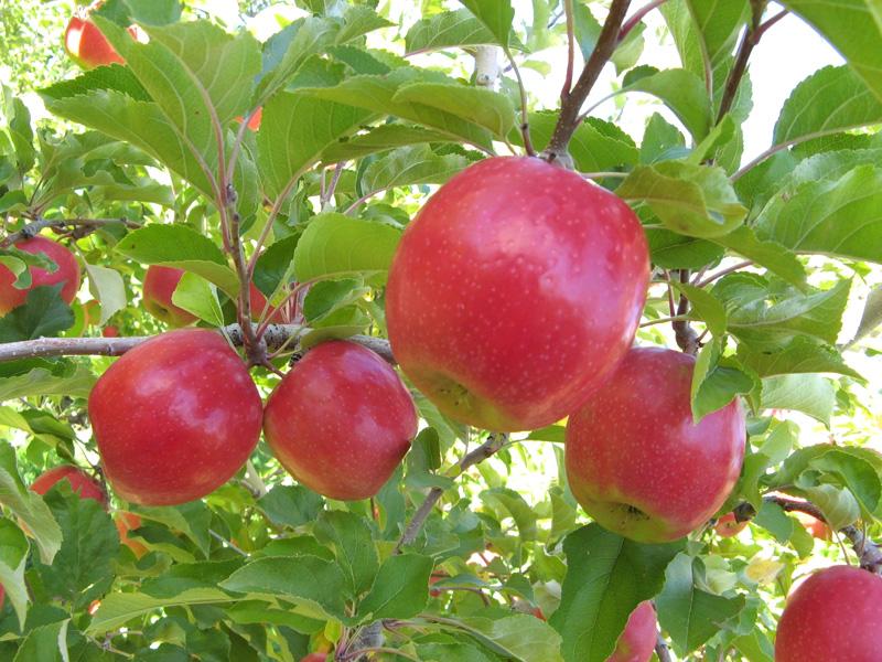 Яблоня Беркутовское изображение 1