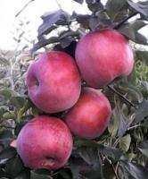 Саженцы яблони Деличия изображение 3