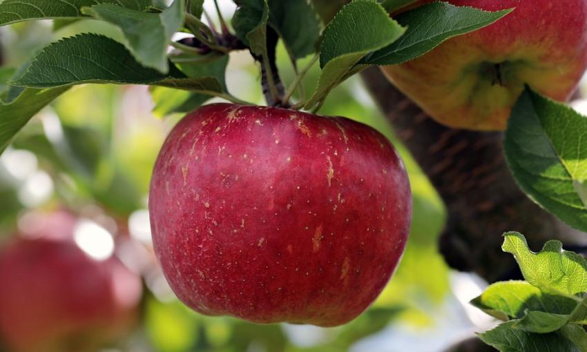Саженцы яблони Бребурн 3