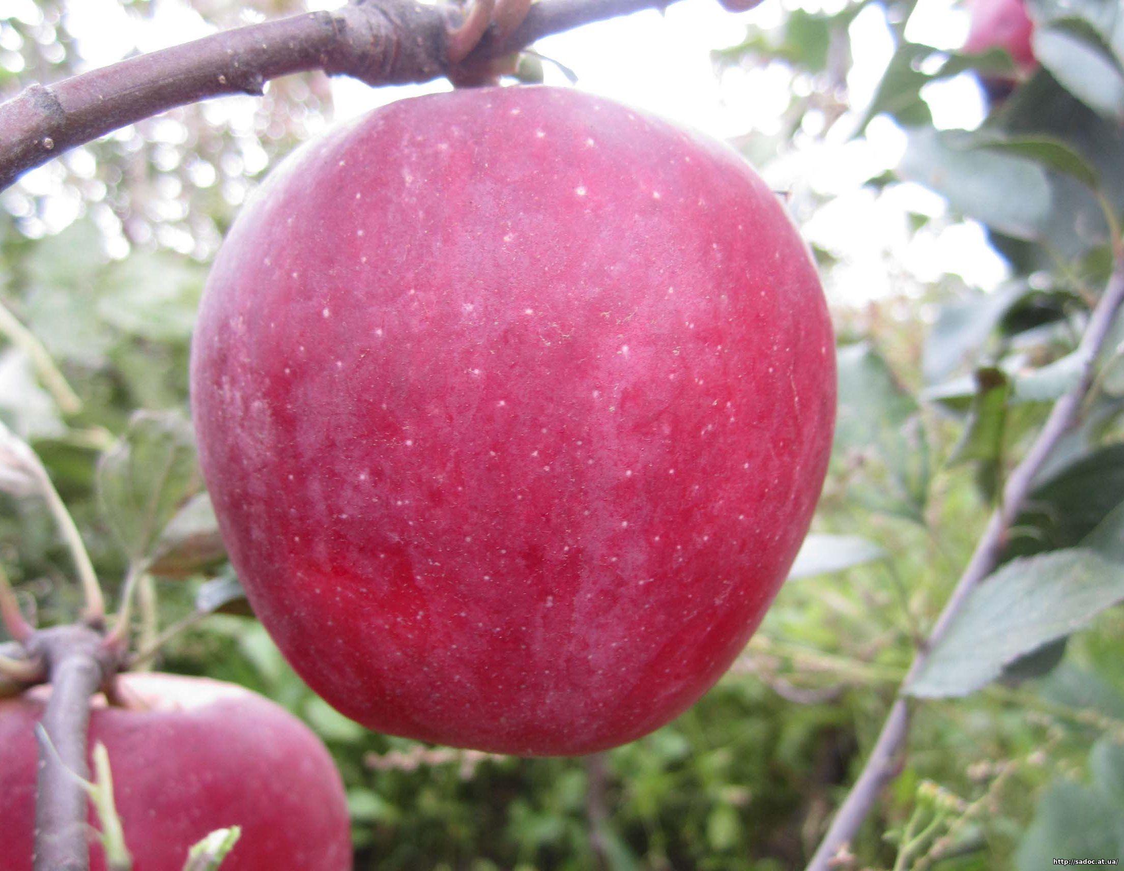 Саженцы яблони Бени Шогун изображение 1