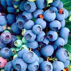 Голубика Биг Блю изображение 1