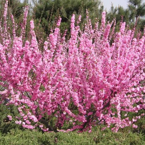 Абелиолистник двурядный Розеум (Форзиция розовая) 2