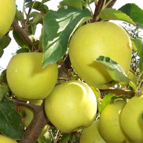 Саженцы яблони Голден Делишес изображение 1