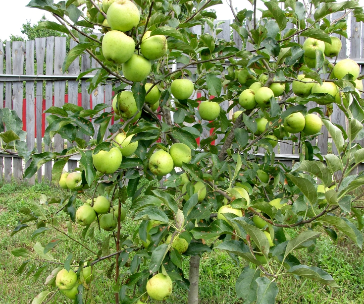 Саженцы яблони Гренни Смит 3