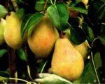 Груша Плодовая Валентина