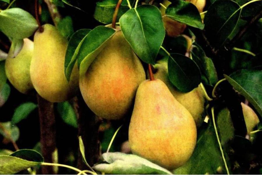 Груша Плодовая Валентина изображение 1