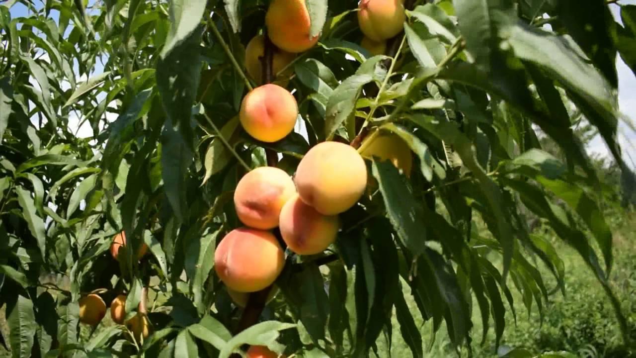Персик обыкновенный Харроу Даймонд изображение 2