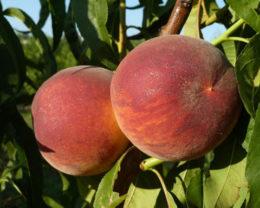 Персик обыкновенный Харроу Даймонд