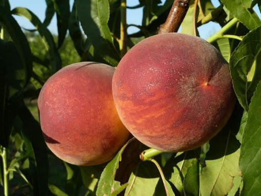 Персик обыкновенный Харроу Даймонд изображение 1