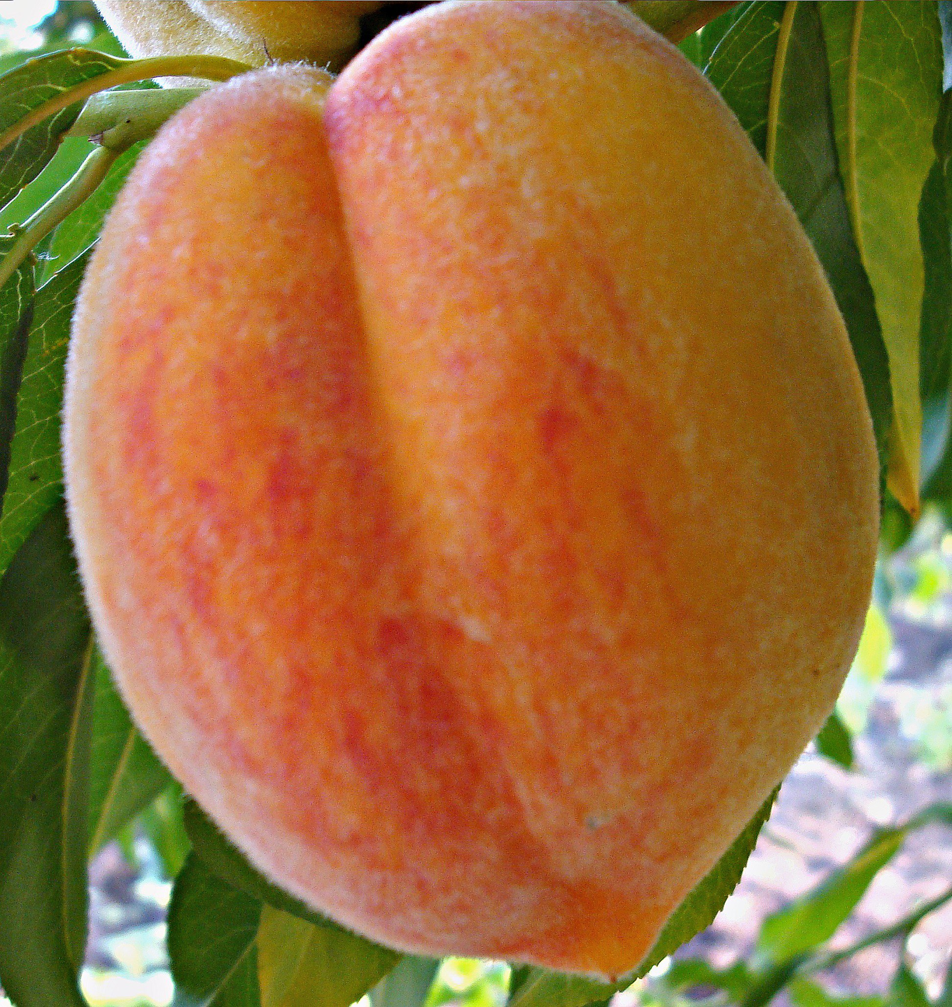 Персик обыкновенный Инка 1
