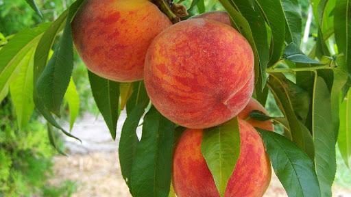 Персик обыкновенный Инка 3