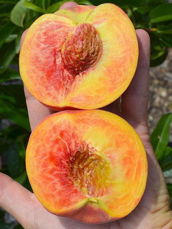 Персик обыкновенный Инка 2