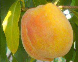 Персик обыкновенный Кролевска
