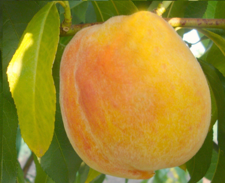 Персик обыкновенный Кролевска 1