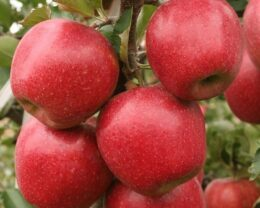 Саженцы яблони Дискавери