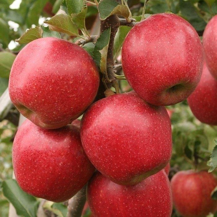 Саженцы яблони Дискавери изображение 1