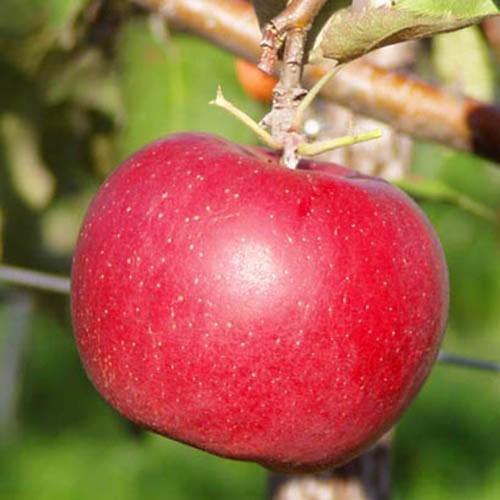 Саженцы яблони Дискавери изображение 2
