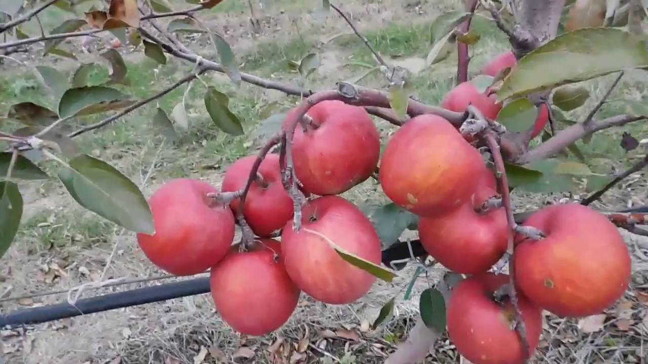 Саженцы яблони Бребурн 2