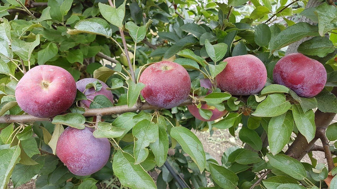 Саженцы яблони Вильямс Прайд 2