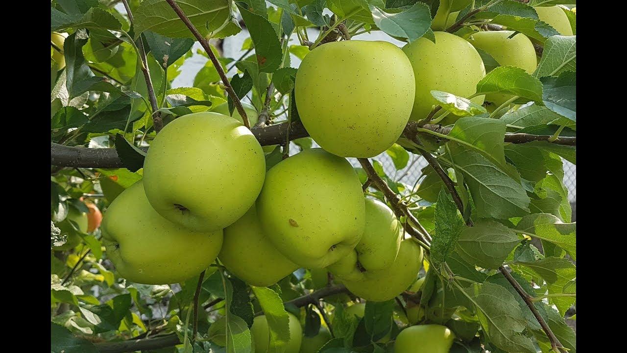 Саженцы яблони Голден Делишес изображение 3