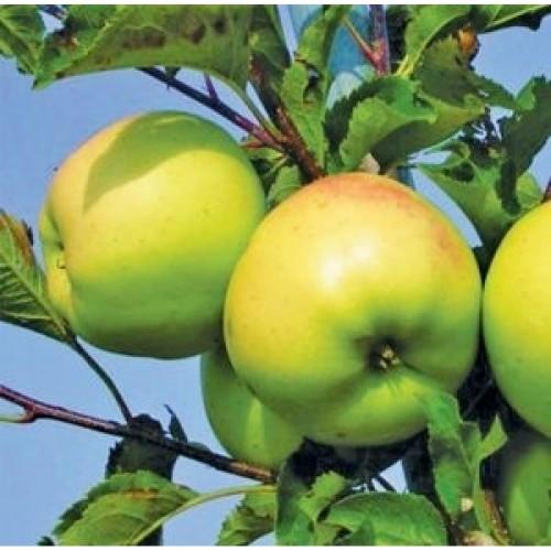 Саженцы яблони Орион изображение 3