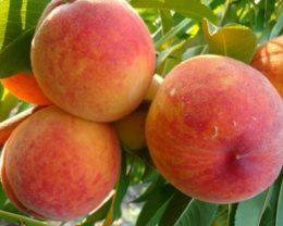 Персик обыкновенный Ред Хейвен