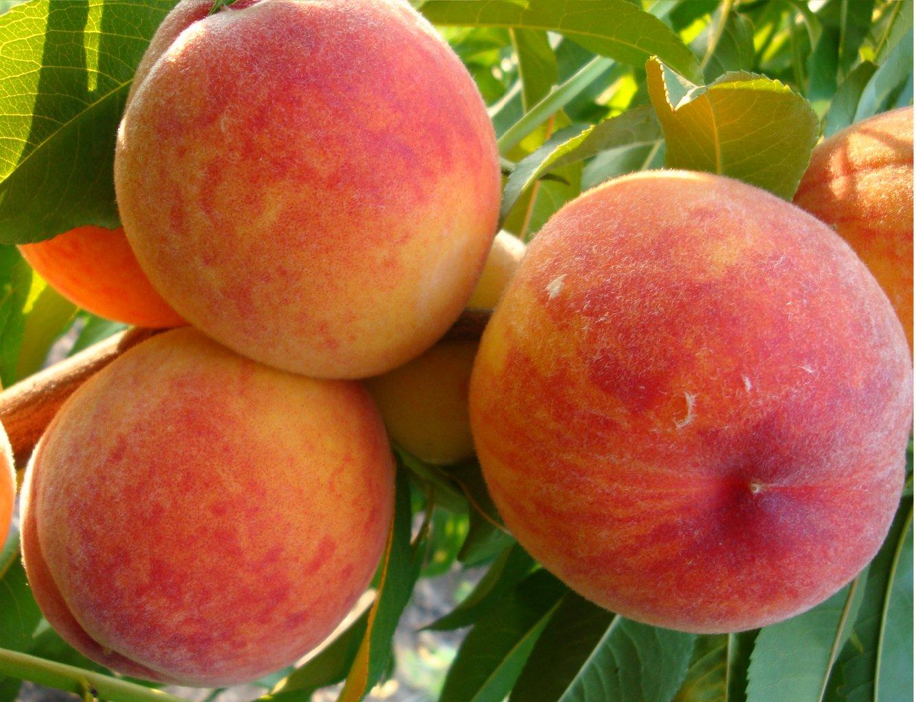 Персик обыкновенный Ред Хейвен 1