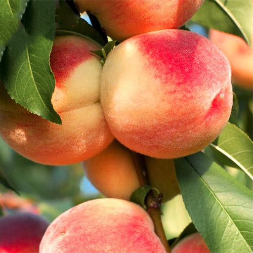 Персик Ставропольский розовый изображение 1