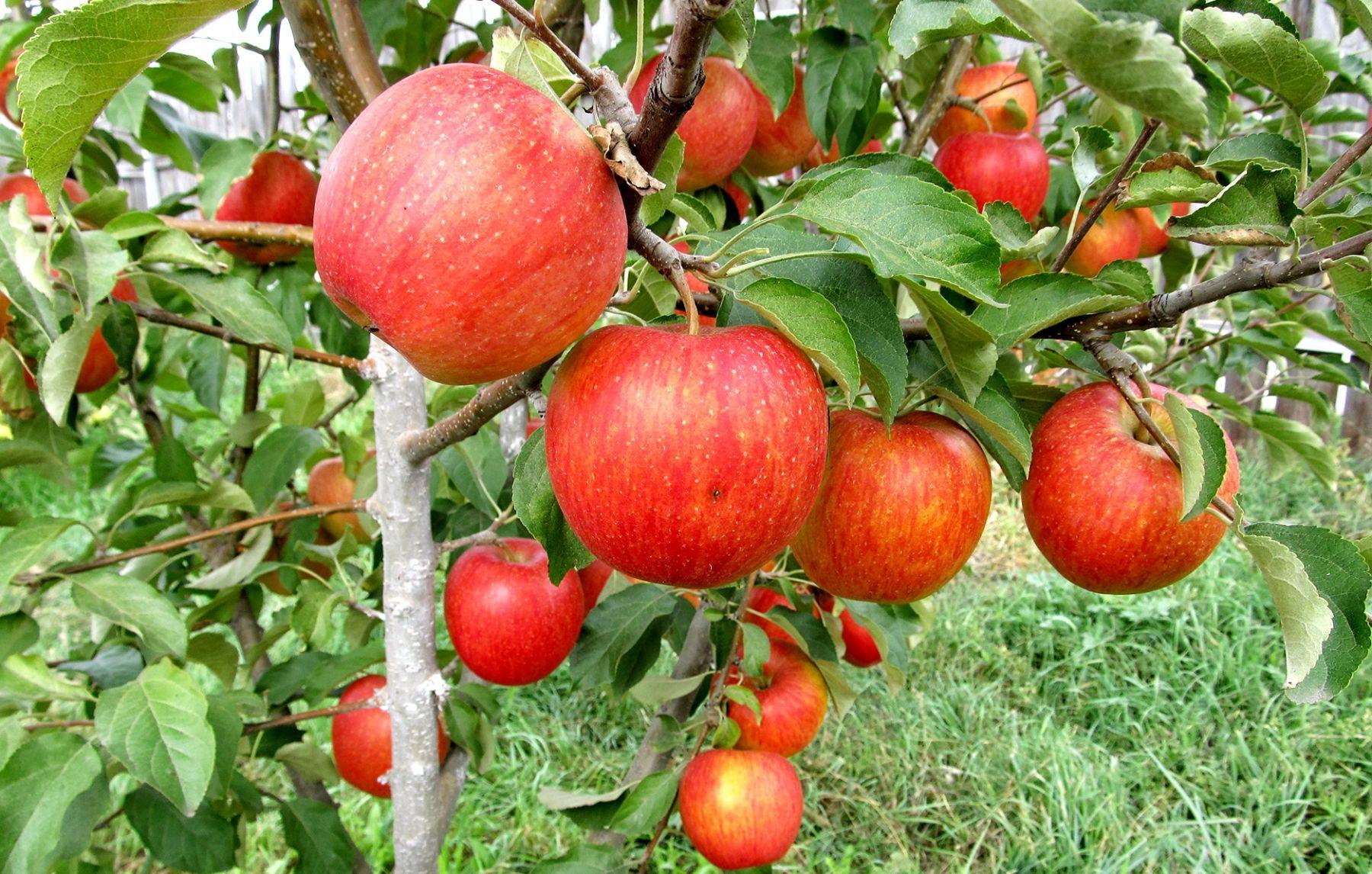 Саженцы яблони Пинова 2