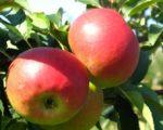 Саженцы яблони Джулия