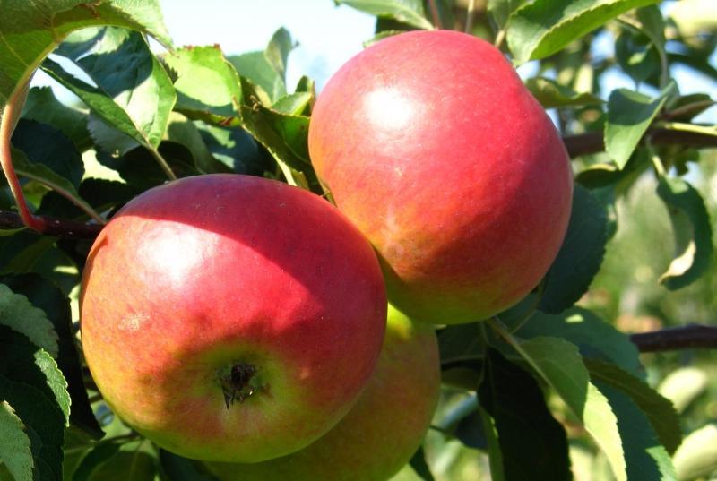 Саженцы яблони Джулия 1