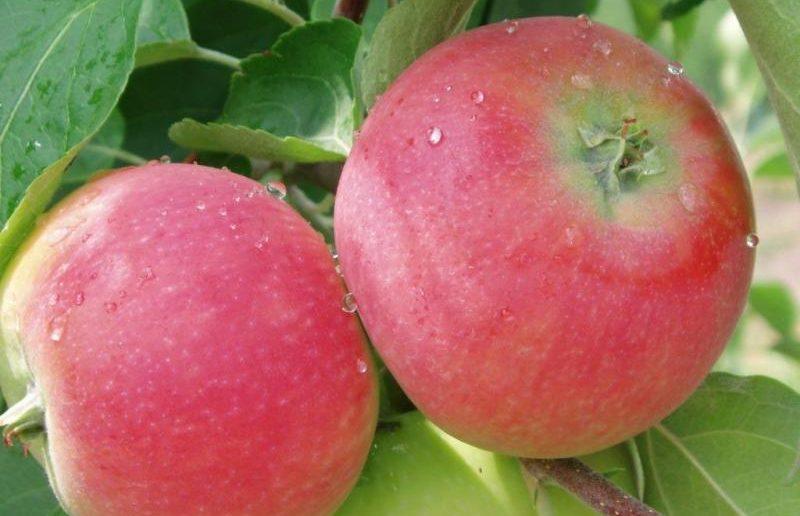 Саженцы яблони Женева Эрли 1