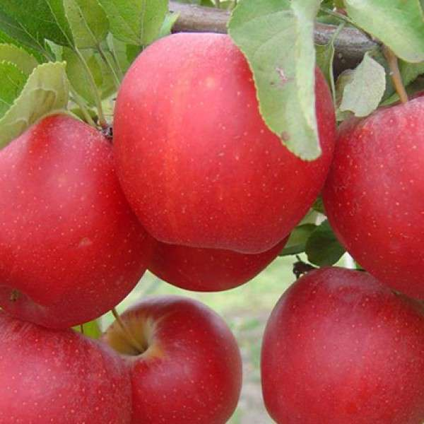 Саженцы яблони Гала Маст 3