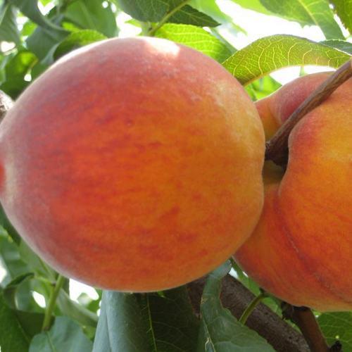 Персик Сочный 1