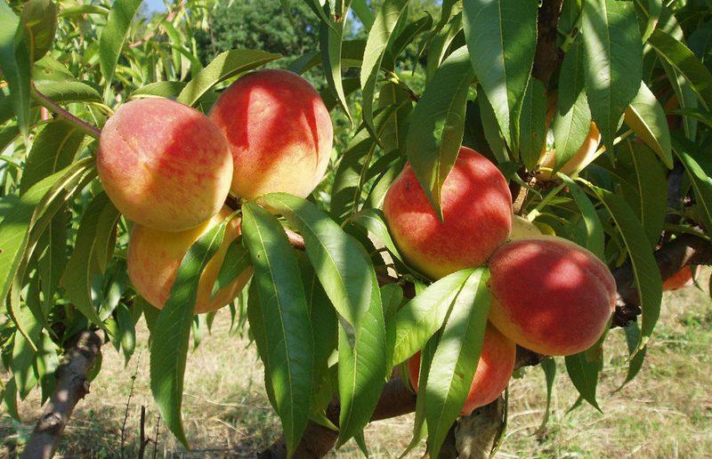 Персик Сочный 2