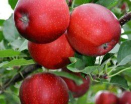 Саженцы яблони Гала Маст