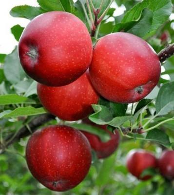 Саженцы яблони Гала Маст 1
