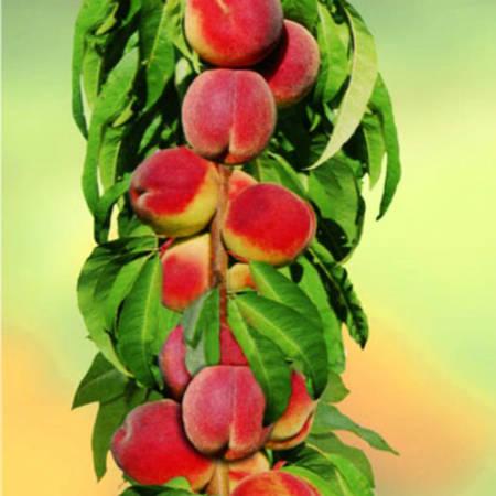 Персик колоновидный Юбилей Столицы 2