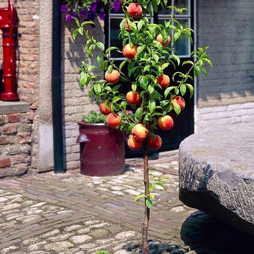 Персик колоновидный Сувенир 1