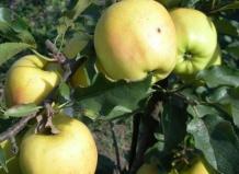 Саженцы яблони Голден Резистент изображение 3